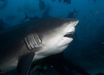 Бычья (тупорылая) акула