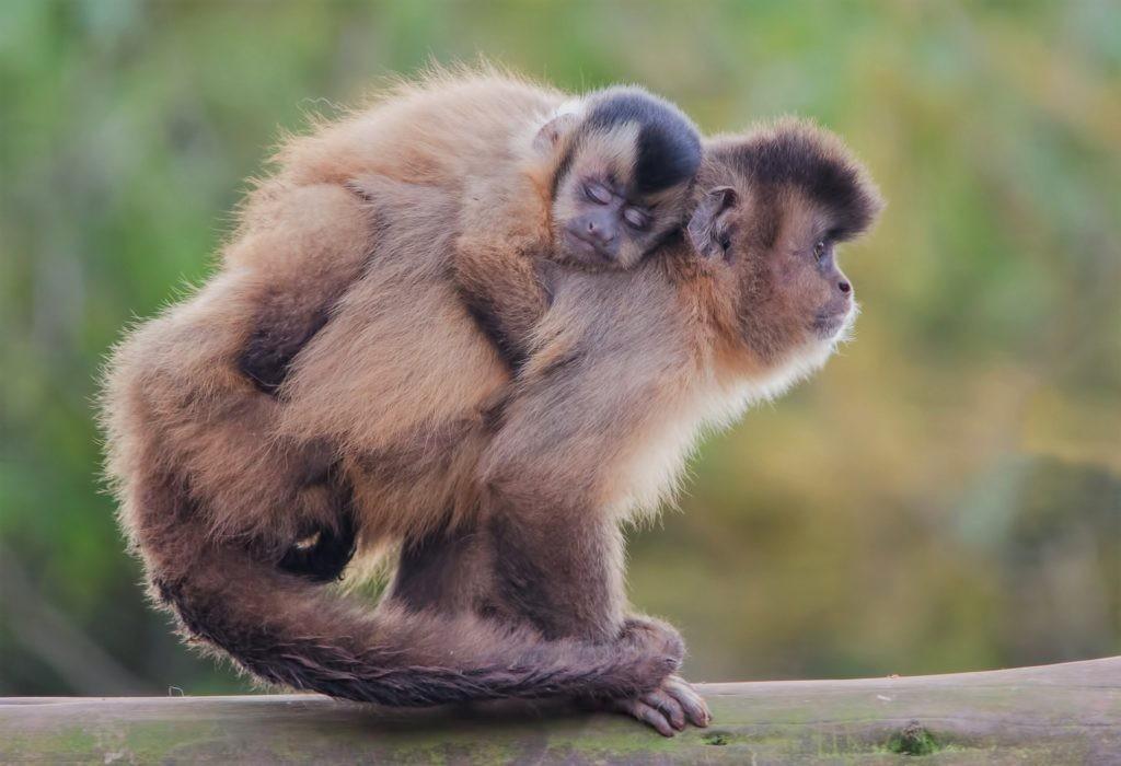 Детеныши большую часть времени проводят на спине матери