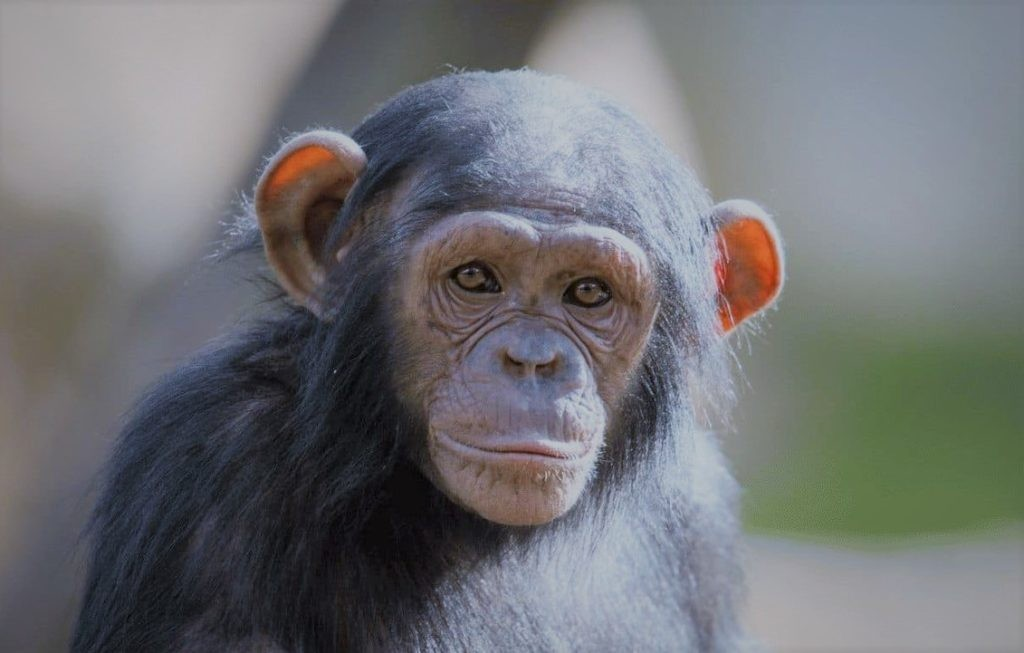 Некоторые обезьяны лысеют с возрастом