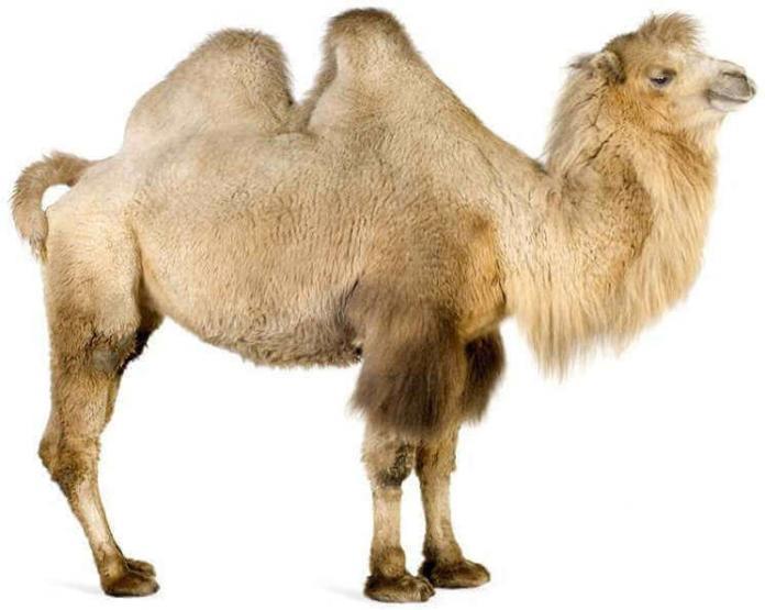 Почему верблюд горбатый?