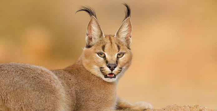 Удивительная кошка каракал