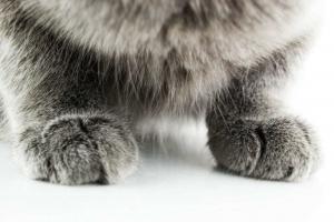 Почему кошка топчет лапками?