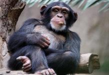 Почему у обезьян не растут усы и борода, если мы произошли от общего предка?
