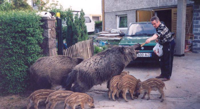 Человек подкармливает стадо, зашедшее в жилой квартал