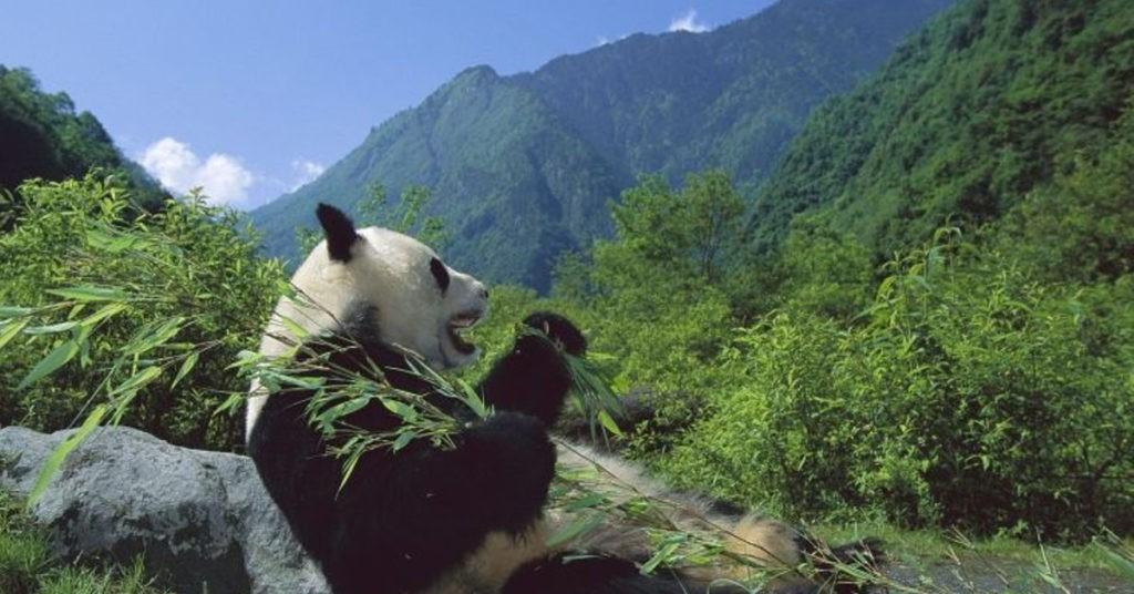 Чем питается панда?