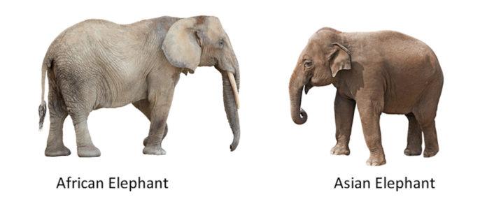 Чем отличаются индийский и африканский слон?