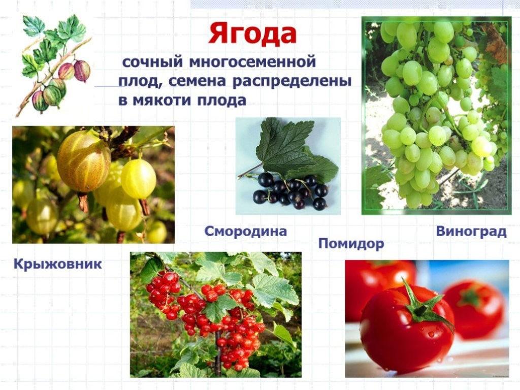 Что такое ягода?