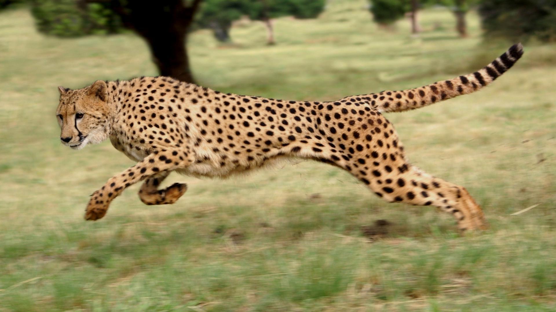 Гепард рулит хвостом во время бега