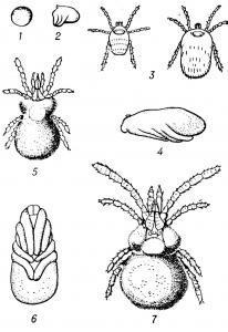 Цикл развития краснотелковых клещей (Entrombieula batatas): 1— яйцо; 2 — предличинка; 3 — личинка (слева — голодная, справа — напитавшаяся); 4 — протонимфа в фазе покоя; 5 — дейтонимфа; 6 — тритонимфа (имаго-хризалис) в фазе покоя; 7 — взрослая форма (имаго).