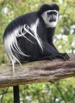 Обезьяны — колобусы