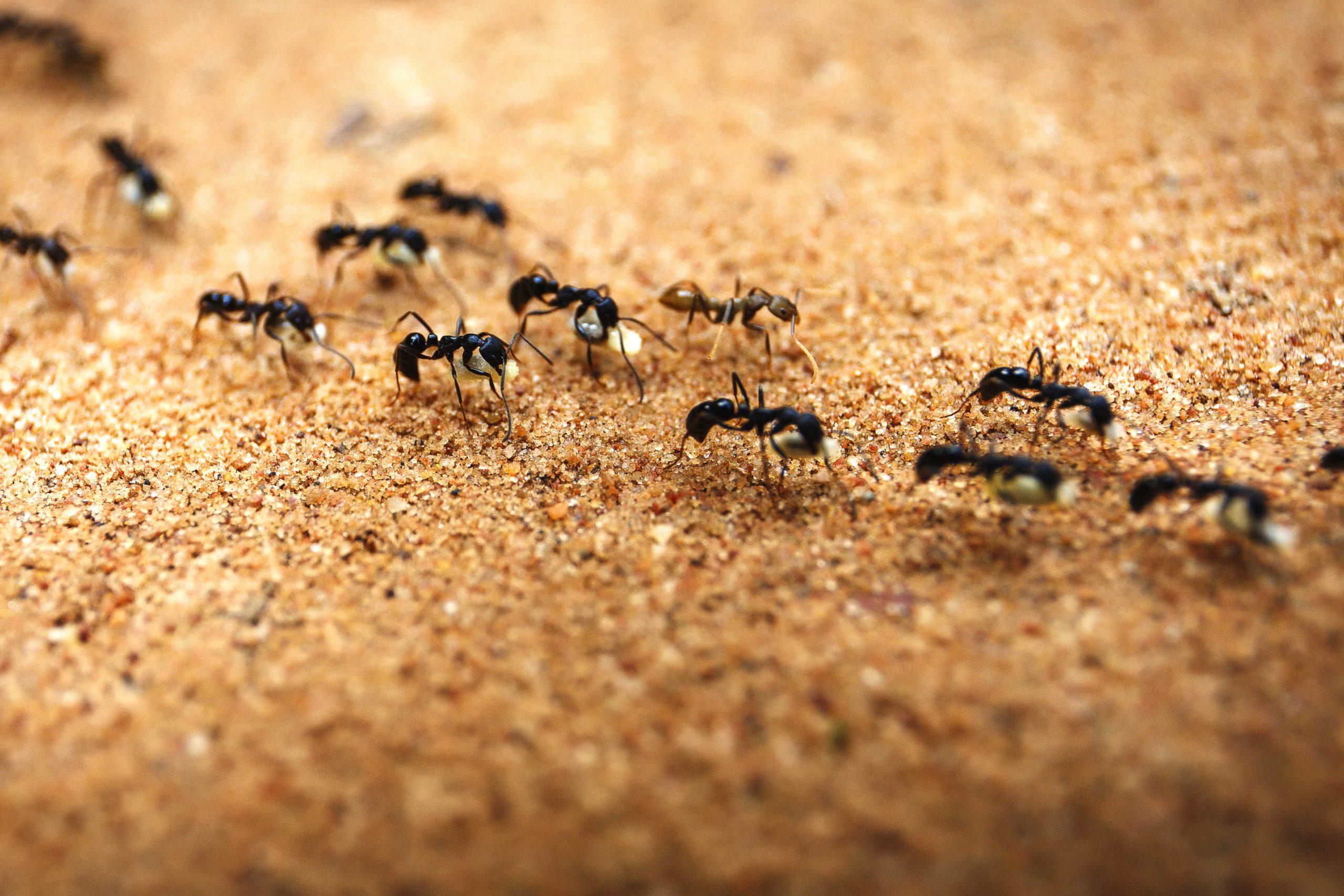 Почему муравьи ходят по цепочке друг за другом?