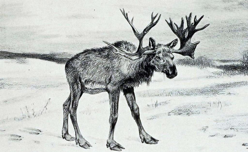 Рисунок животного Cervalces, которое предположительно является родственником лося