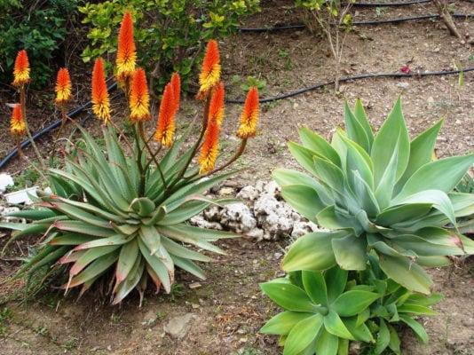 Цветение агавы