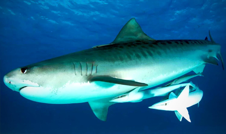 Детеныш акулы