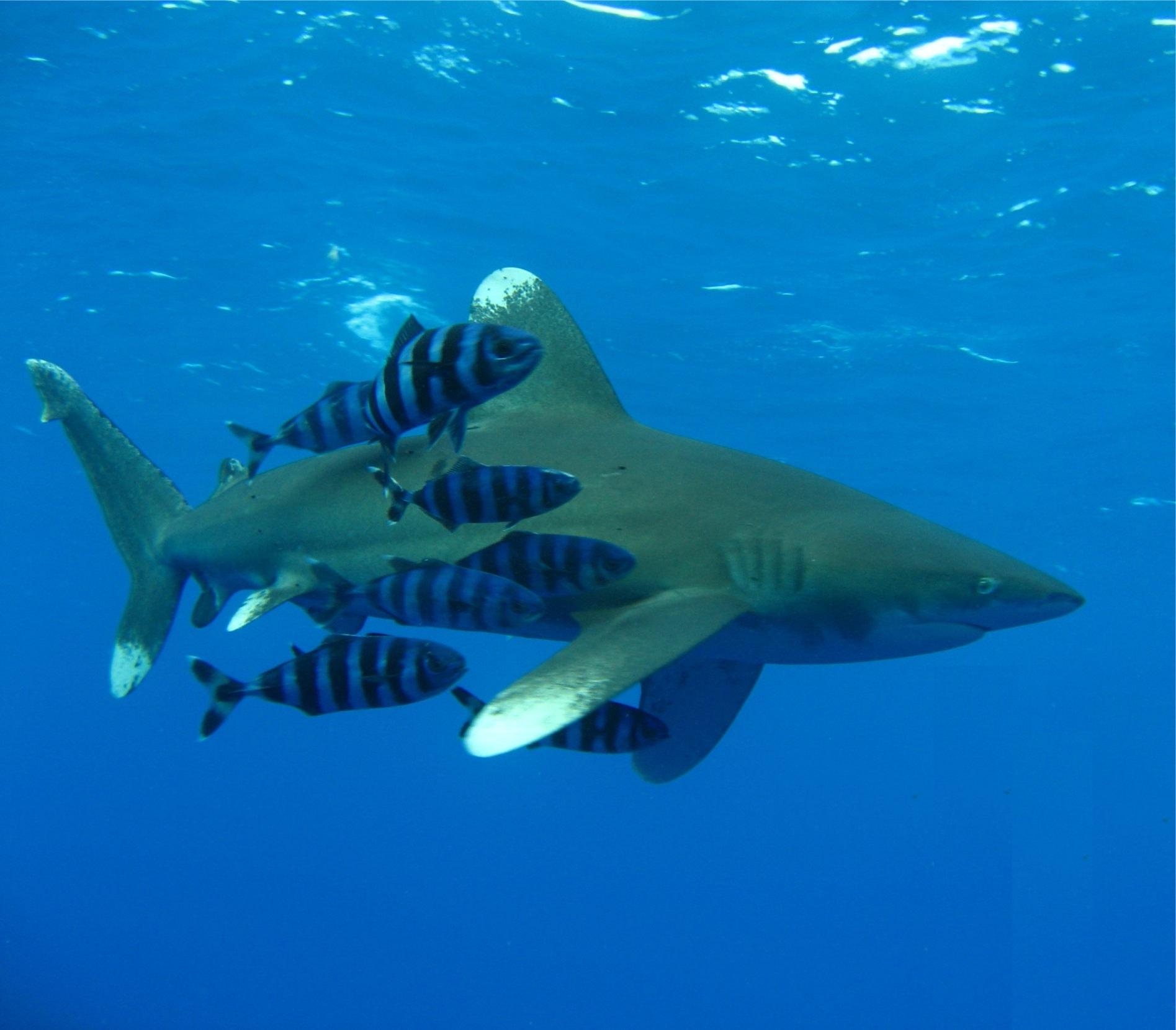 Виды акул средиземного моря фото и название