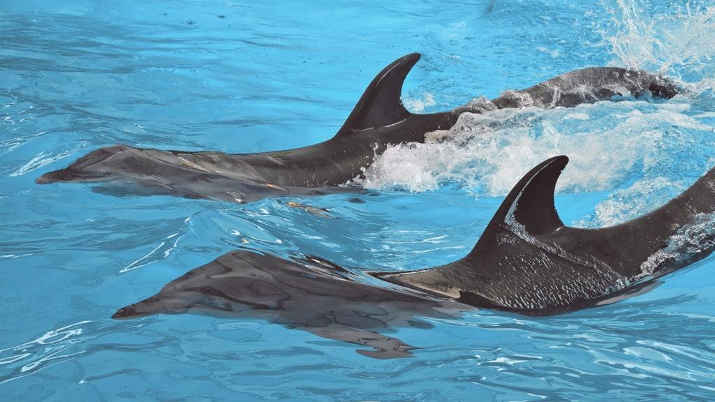 Верхний плавник дельфина