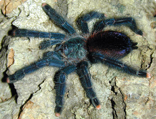 Древесный паук