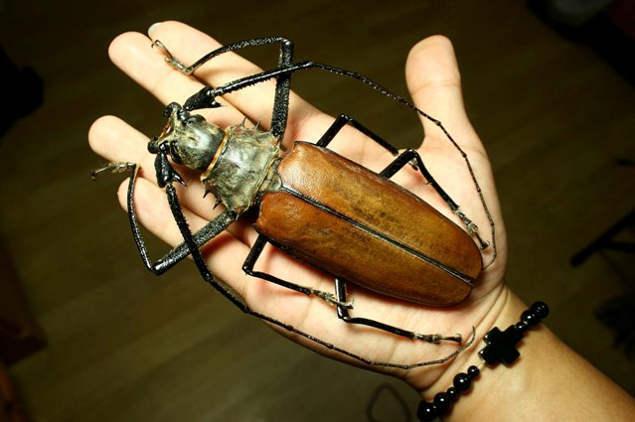 Жук усач - титан дровосек