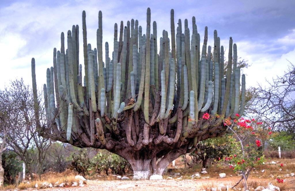 Древовидный кактус
