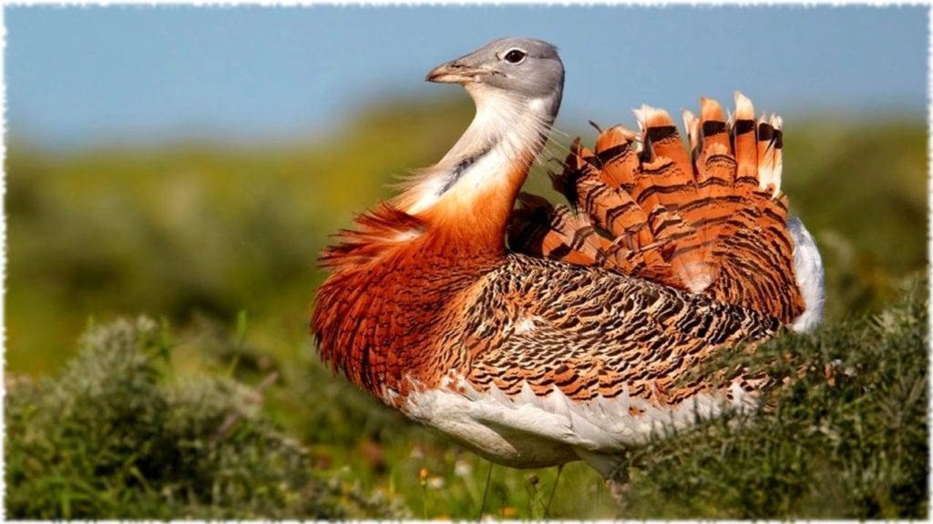 Дрофа - самая тяжелая птица летающая птица;