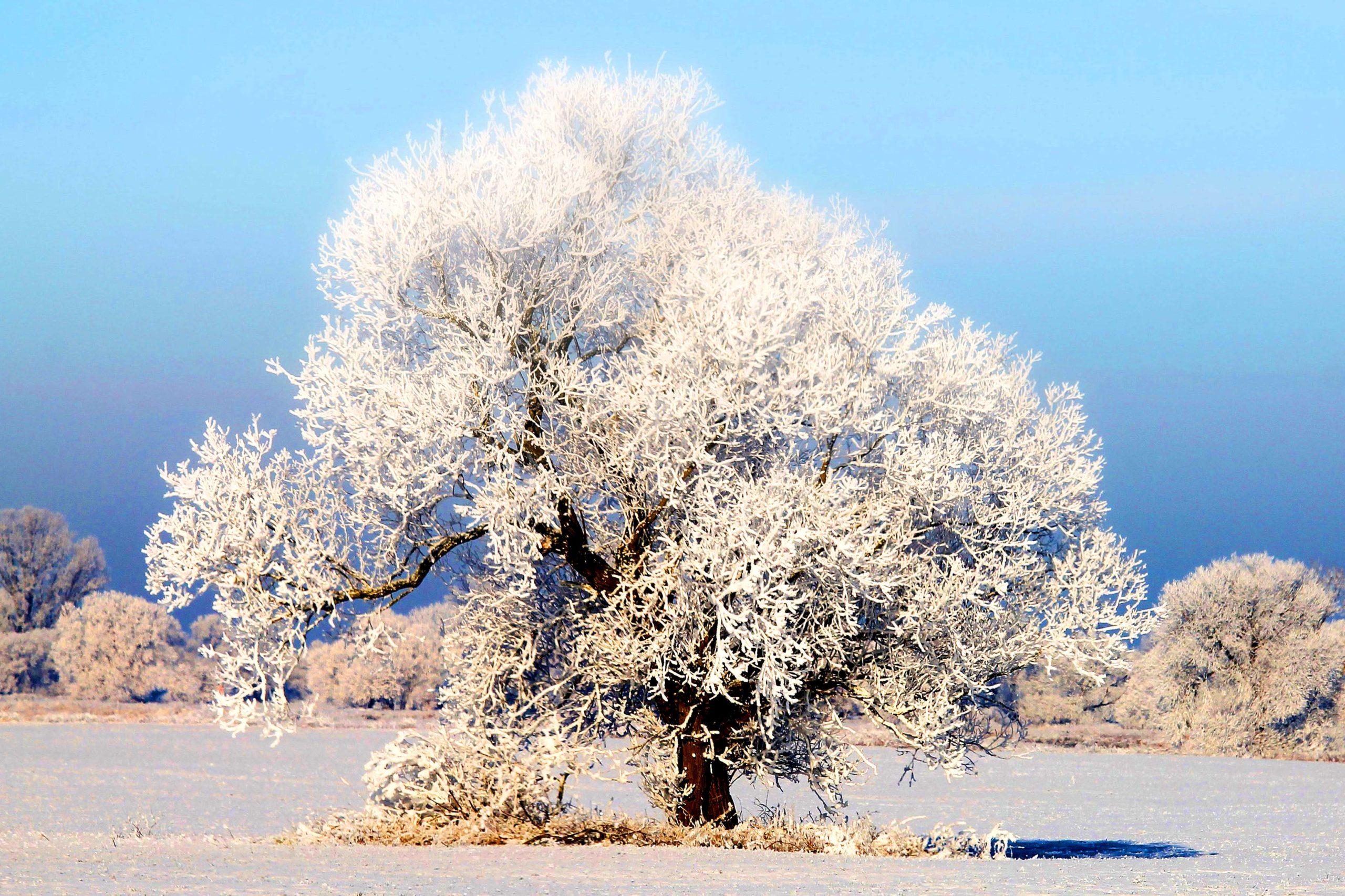 Замерзает ли зимой жидкость в деревьях?