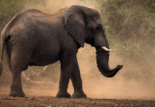 Действительно ли слоны ничего не забывают?