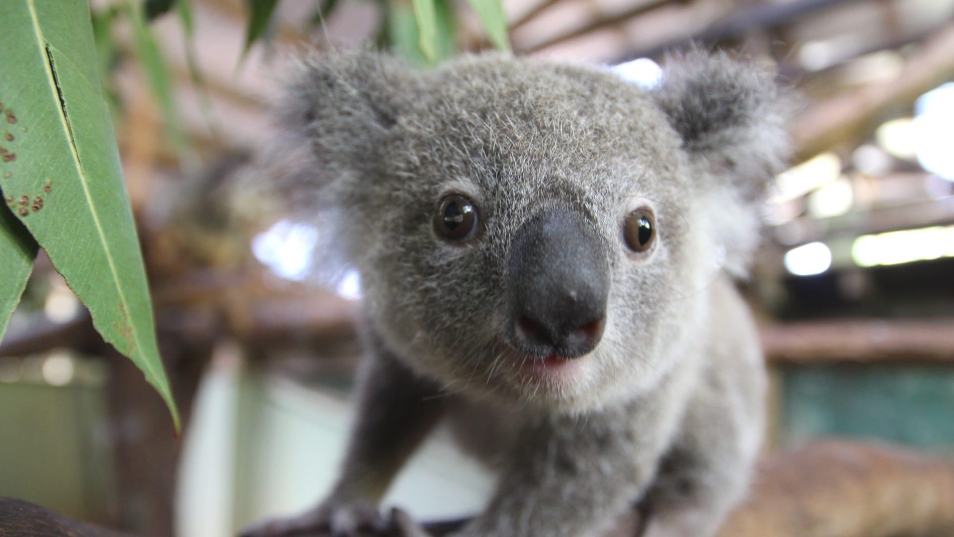 Детеныш коала