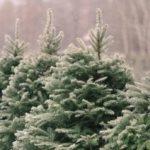 Почему елка (ель) всегда зеленая?