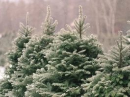 Почему елка всегда зеленая?