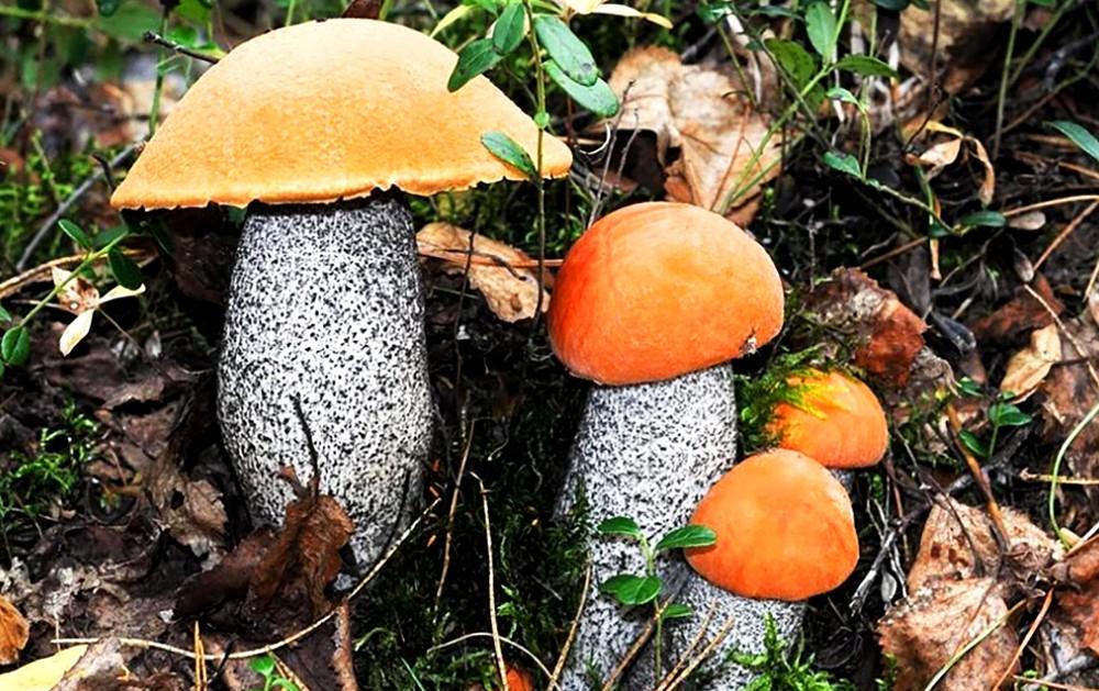 Этапы роста подосиновика - от самого молодого до зрелого гриба