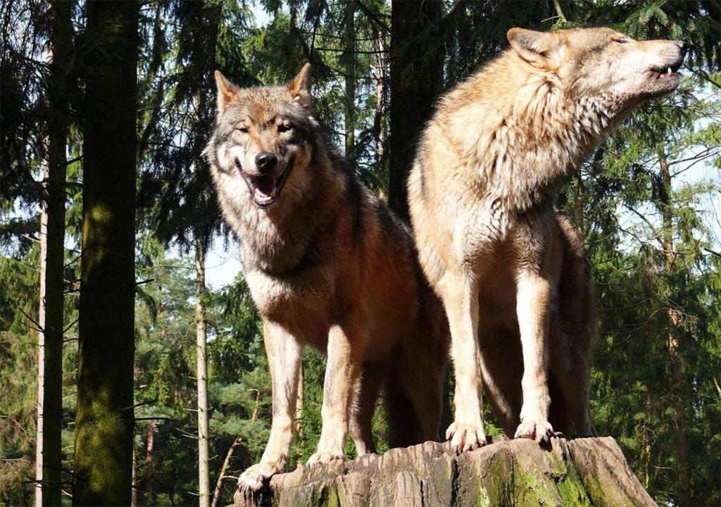 Европейский волк