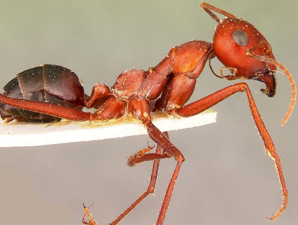 Американский муравей красный фаэтончик