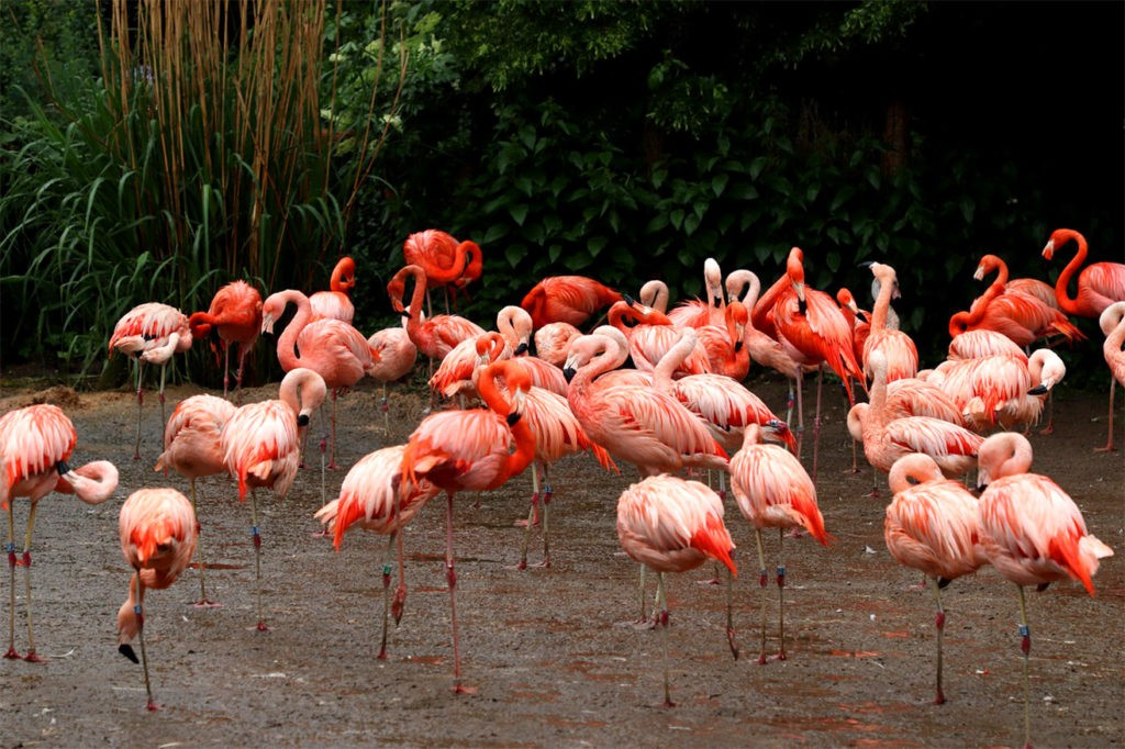Ощущая опасность, фламинго сбиваются в группы