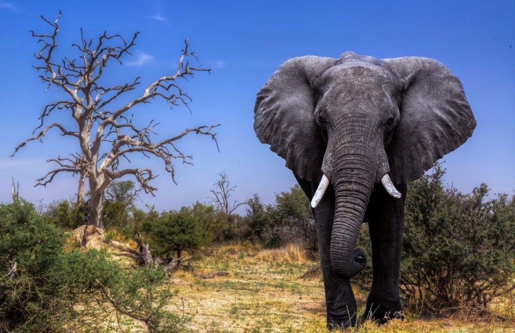 Вес африканских слонов может доходить до 6 тонн
