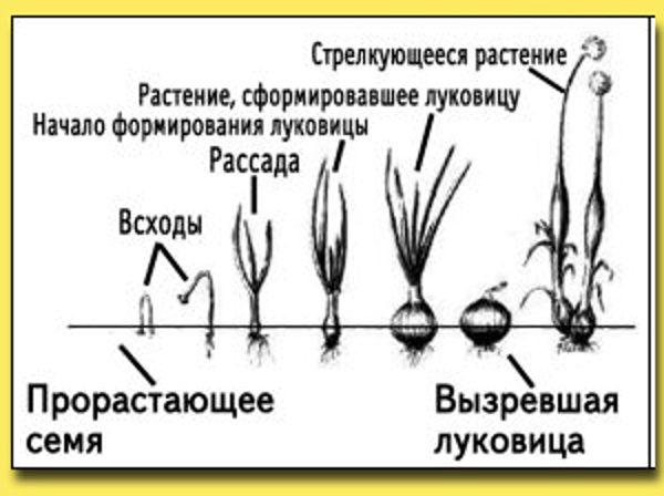 Фазы роста лука