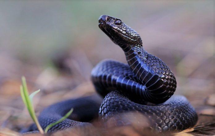 Гадюка: описание, виды, как выглядит, где живет, питание, размножение, опасность, фото и видео