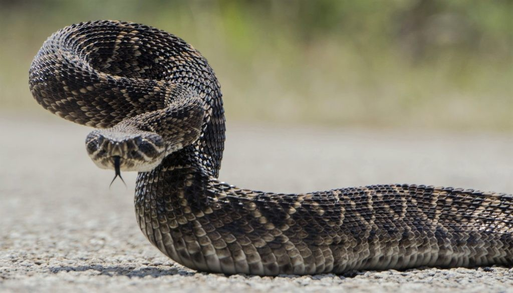 В искусственной среде обитания при должном уходе змея живет гораздо дольше