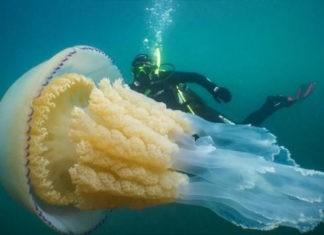 У берегов Англии была обнаружена гигантская медуза