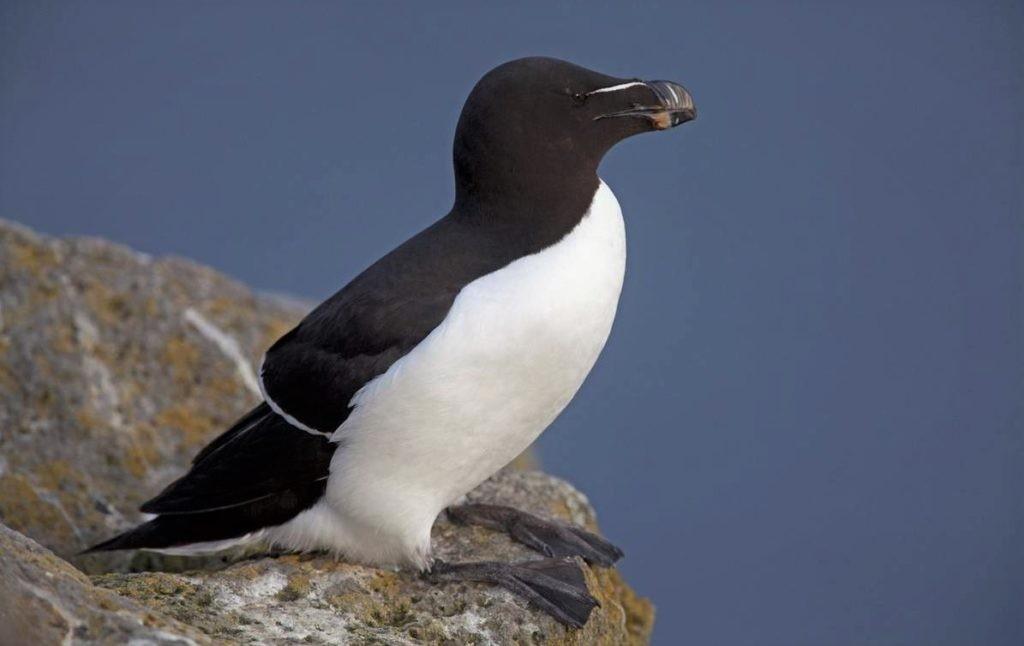 Гагарка - птица, похожая на пингвина, ранее жившая на Северном полюсе