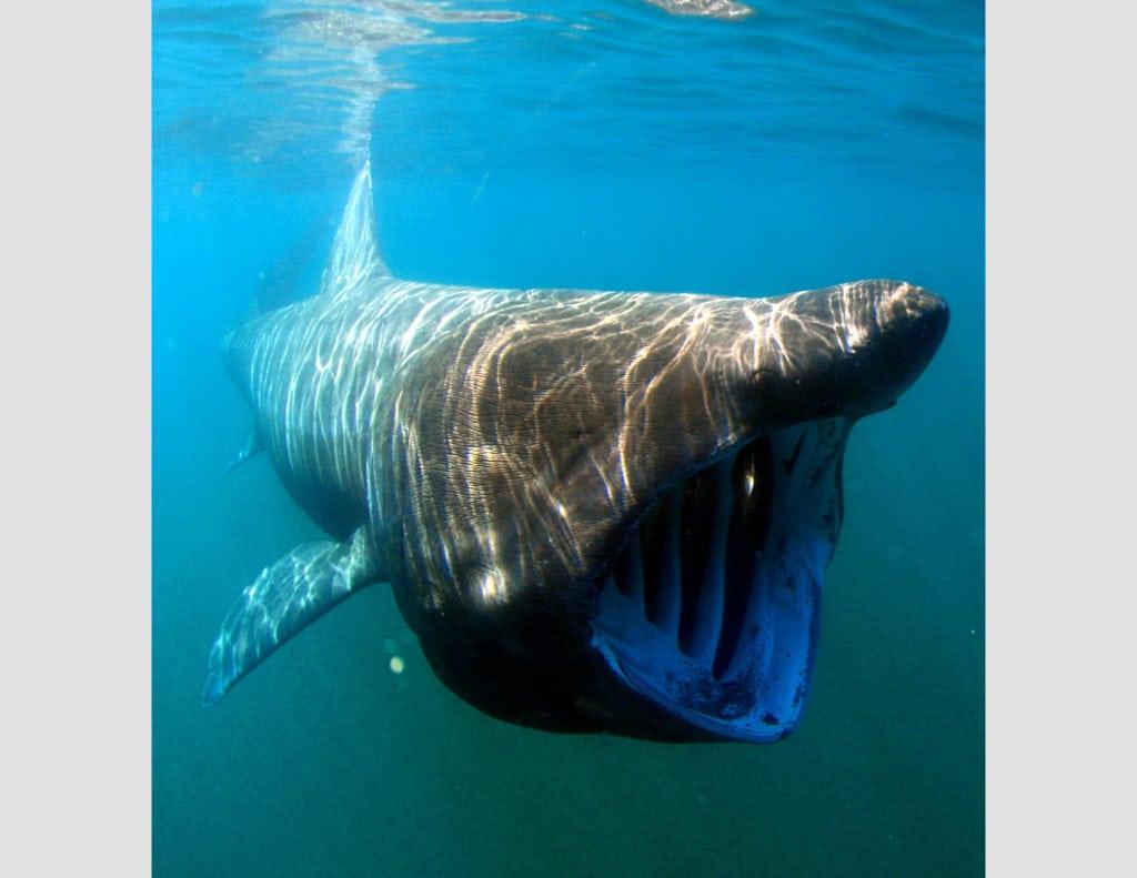 Гигантская акула или исполинская акула