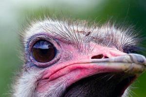 Глаза страуса