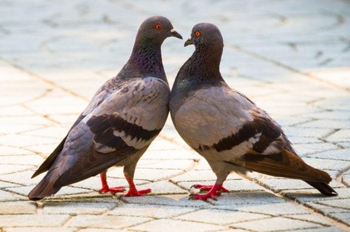 Почему городские голуби не сидят на деревьях?