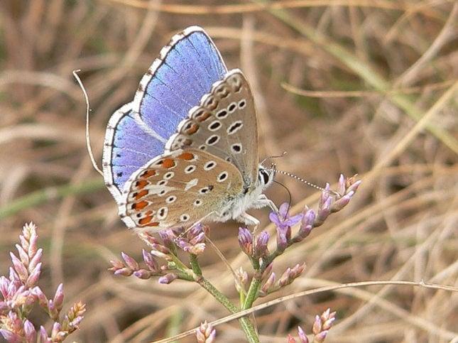 Голубянка красивая