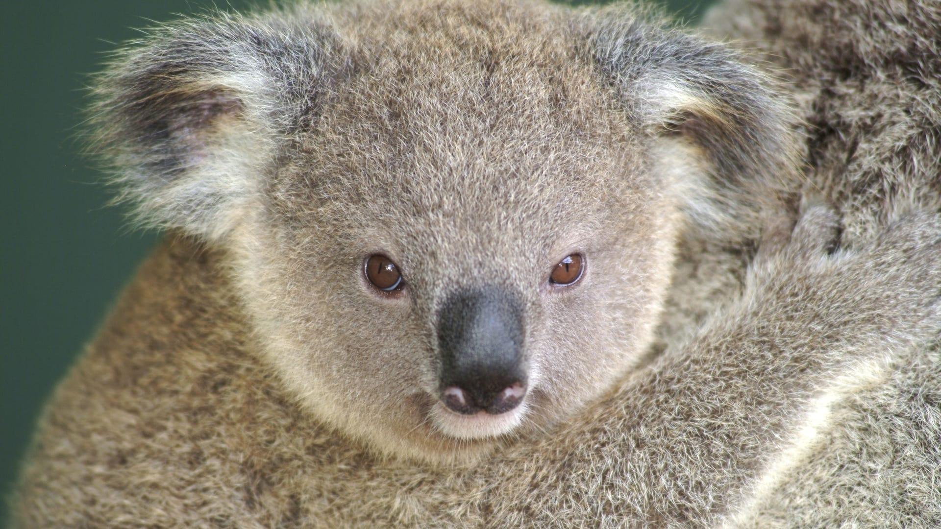Изначально коал считали медведями