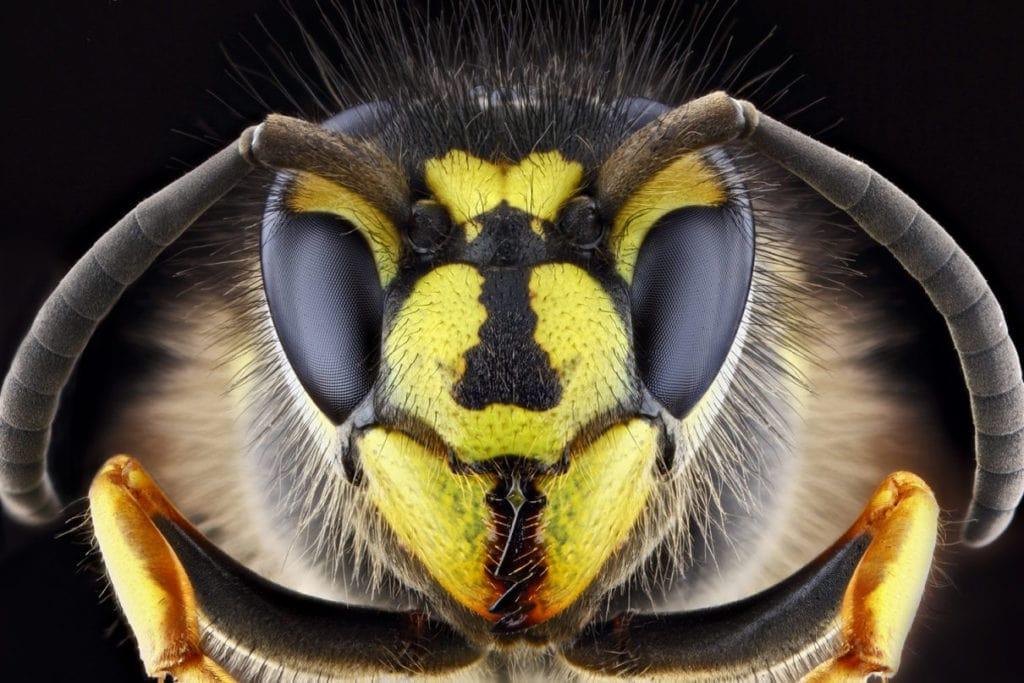 Глаза осы