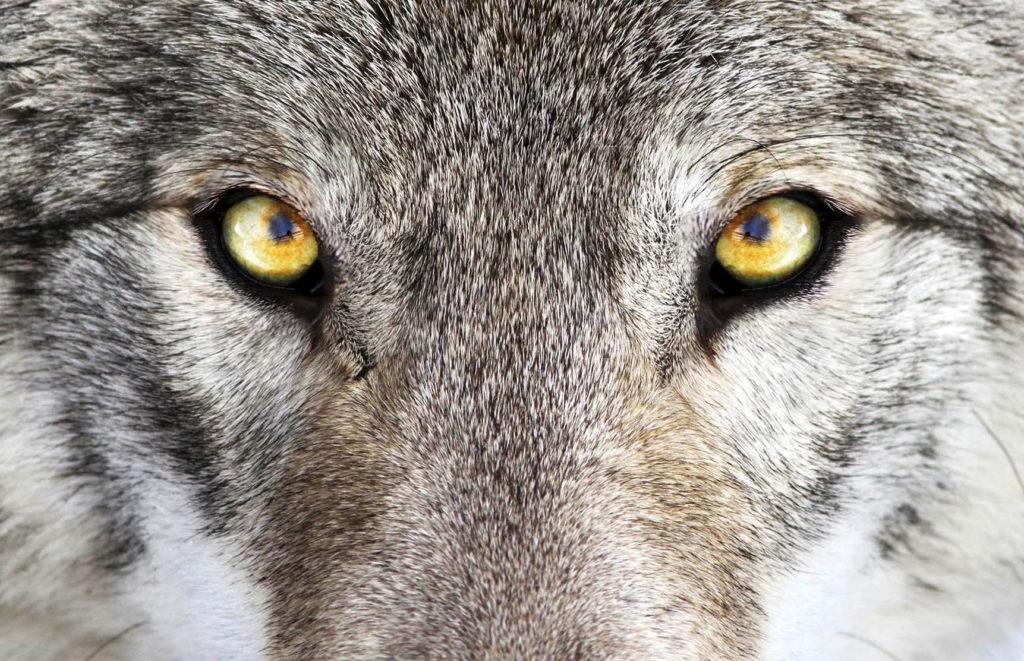 Глаза серого волка