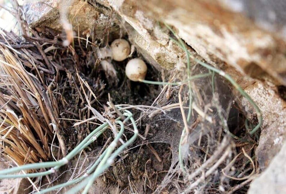 Гнездо каракурта