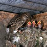 Гнезда воробьев