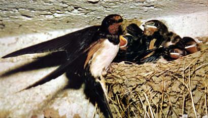 Гнездо деревенской ласточки