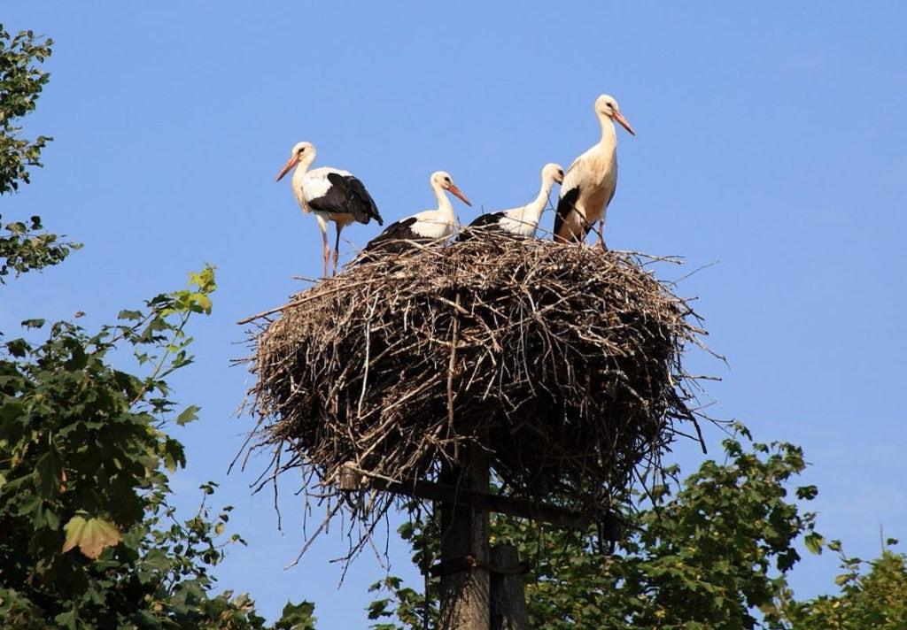 Гнездо аиста